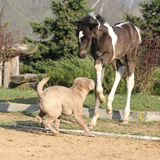 Nice young dog playing with foal Stock Photos