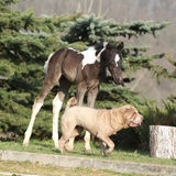 Nice young dog playing with foal Stock Photo