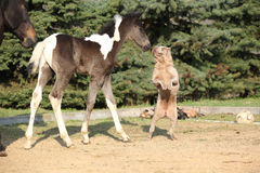 Nice young dog playing with foal Royalty Free Stock Image