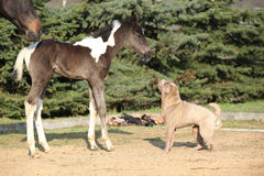 Nice young dog playing with foal Royalty Free Stock Photography