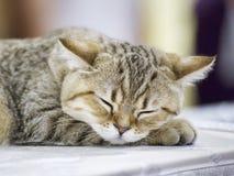 A nice young grey kitten sleeping - selective focus. Portrait of young grey kitten sleeping in selective focus Stock Photos