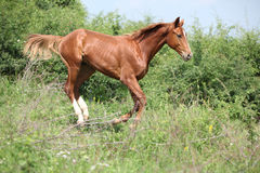Nice young horse running downhill Royalty Free Stock Image