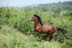 Nice young horse running uphill Royalty Free Stock Images