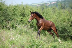Nice young horse running uphill Stock Images