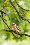 Nice young shrike songbird perched on the branch. Vertical photo of young shrike bird. Songbird has still child feathers and colors. The green trees and branches Stock Image