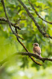 Nice young shrike songbird sits on the branch. Vertical photo of young shrike bird. Songbird has still child feathers and colors. The green trees and branches Royalty Free Stock Photo