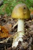 Young Amanita Phalloides in natural habitat stock photos