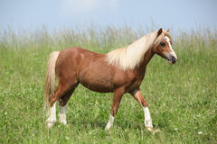 Nice young welsh mountain pony Royalty Free Stock Photo