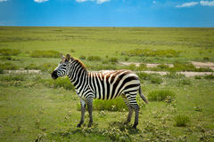 Nice zebra adventure safari. Nice striped zebra stands on green grass in savanna with blue sky, adventure safari in Serengeti, Tanzania, Africa Royalty Free Stock Photo