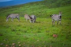 Nice zebras adventure safari Africa. Nice striped zebras stands on green grass in savanna with blue sky, adventure safari in Serengeti, Tanzania, Africa Stock Image