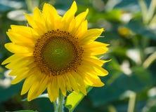 Nicef-Gelbsonnenblume Stockbild