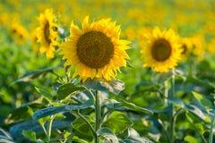 Nicef-Gelbsonnenblume Lizenzfreies Stockbild