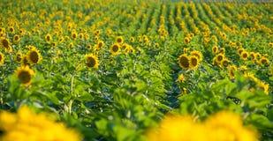 Nicef-Gelbsonnenblume Stockfoto