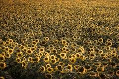 Nicef-Gelbsonnenblume Stockbilder