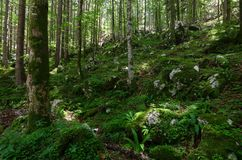 Nicely illuminated forest with a lot of moss on the ground, Slovenia, Europe. Nicely illuminated mystical and shadowy forest with a lot of moss on the ground stock photos
