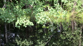 Nicely ponds aspen branch leaves flickering surface stock video