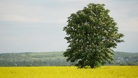 Nicely Shaped Chestnut Tree in Full Bloom on Meadow in Spring Landscape under Blue Sky with Clouds.  stock video