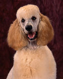 Nicely trimmed poodle. Headshot of an apricot color poodle with nicely trimmed hair, shot in a studion against a dark brown backdrop Royalty Free Stock Photography