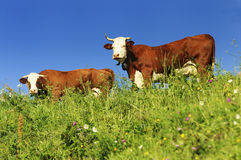 Nices two cows Stock Images