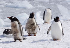 Nicht alle Pinguine sind weiß und schwarz Stockbilder
