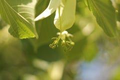 Nicht Blütenblumen auf dem Baum Lizenzfreies Stockbild