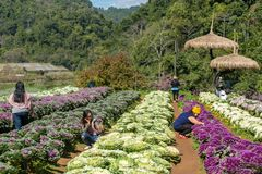 Nicht identifizierte thailändische Leute, die Fotos auf Kohlfeld in Doi Ang Khang National Park, Nord-Thailand machen Lizenzfreies Stockbild