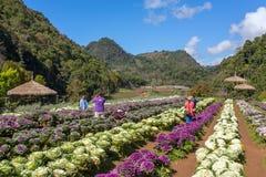 Nicht identifizierte thailändische Leute, die Fotos auf Kohlfeld in Doi Ang Khang National Park, Nord-Thailand machen Lizenzfreie Stockbilder
