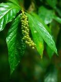 Nicht identifizierte tropische Anlage mit Beeren Stockbild