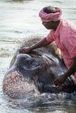 Nicht identifiziertes Mannbad Lakshmi, der Tempelelefant Lizenzfreies Stockfoto