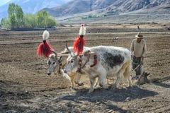 Nicht identifiziertes tibetanisches Landwirtarbeitung schwer auf Reisfeld Stockfotos
