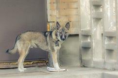 Nicht reinrassige Hunde des Welpenyard - Warten auf den Wirt Lizenzfreie Stockfotografie