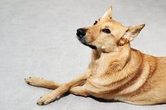 Nicht reinrassiger Hund, der auf dem Boden liegt Stockfotografie