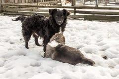 Nicht reinrassiger Hund und kaukasischer Schäferhund Stockbilder