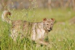 Nicht reinrassiger wilder Hund stockfotos