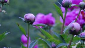 Nicht schon blühende Knospen von purpurroten Blumen Kamerabewegung macht es möglich, die Blume auf allen Seiten der Blume zu sehe stock video footage
