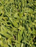 Nicht schon blühende Tulpen auf dem Gebiet Lizenzfreies Stockbild