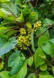 Nicht schon reife, grüne Beeren der chinesischen Magnolienrebe stockbilder
