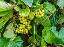 Nicht schon reife, grüne Beeren der chinesischen Magnolienrebe lizenzfreie stockfotos