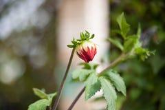 Nicht vollerblühte Blume rosa weiße Chrysantheme Stockbilder