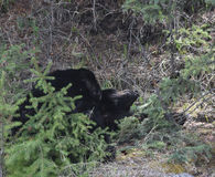 Nickerchen machende Bären Lizenzfreie Stockfotos