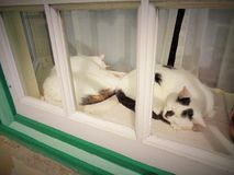 Nickerchen machende Doppelkatzen Stockbild