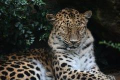 Nickerchen machender Leopard stockfotos
