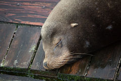Nickerchen machender Seelöwe Stockfotos