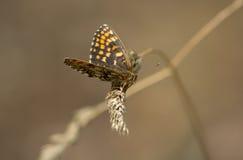 Nickerls贝母(Melitaea aurelia)蝴蝶 库存图片