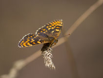 Nickerls贝母(Melitaea aurelia)蝴蝶 库存照片