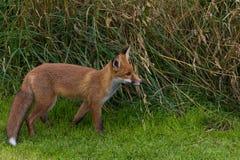 Único Fox vermelho (Canidae do vulpes do Vulpes) Imagem de Stock Royalty Free