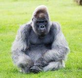 Nico Gorilla Longleat Royalty Free Stock Images