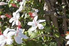 Único hibiscus do arnottianus havaiano branco mais selvagem do hibiscus com estames cor-de-rosa Foto de Stock Royalty Free