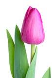Único tulip cor-de-rosa Fotos de Stock Royalty Free