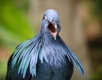 nicobar鸽子 库存照片